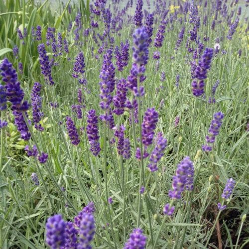 Lavender Hidcote, English Lavender - Future Forests