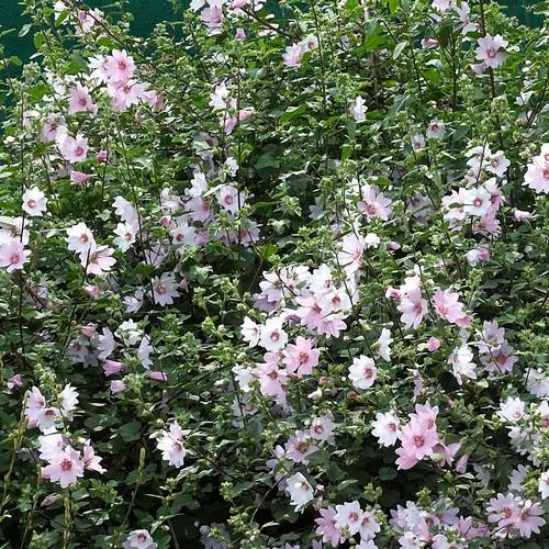 Lavatera Barnsley Baby - Future Forests
