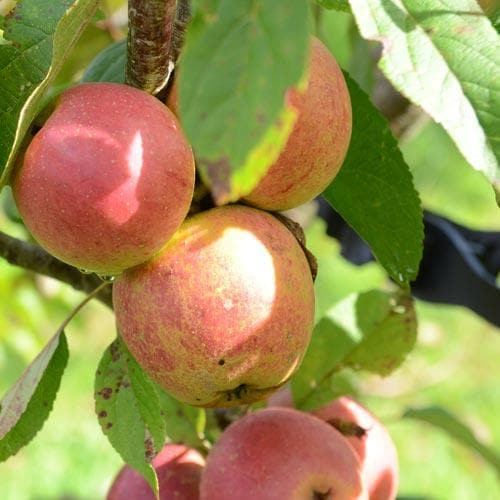 Apple Laxton Superb - Future Forests