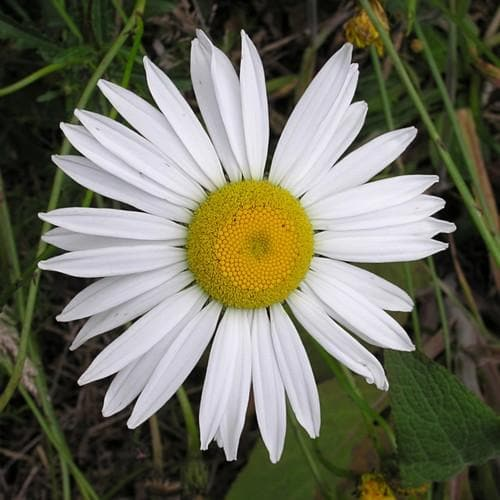 Leucanthemum vulgare - Future Forests