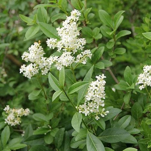 Ligustrum vulgare - Native privet