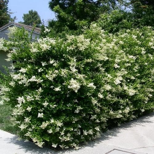 Ligustrum Japonicum - Japanese Privet - Future Forests