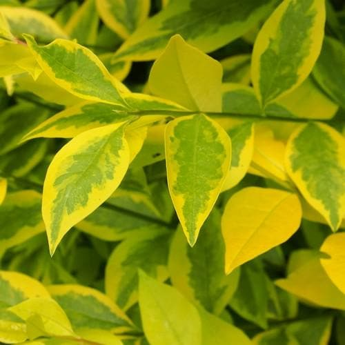 Ligustrum ovalifolium aureum - Golden Privet - Future Forests