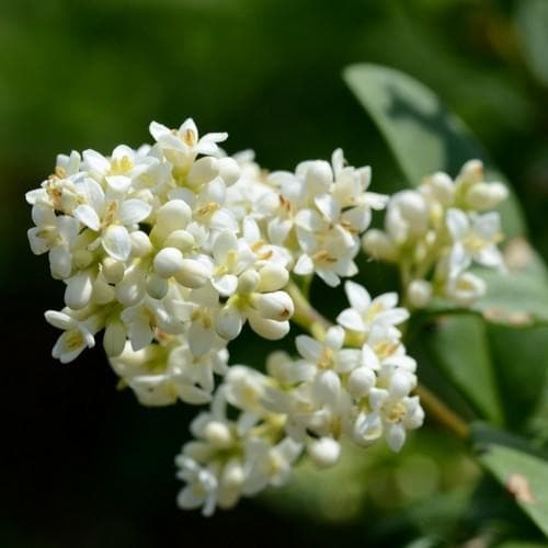 Ligustrum vulgare - Native privet - Future Forests