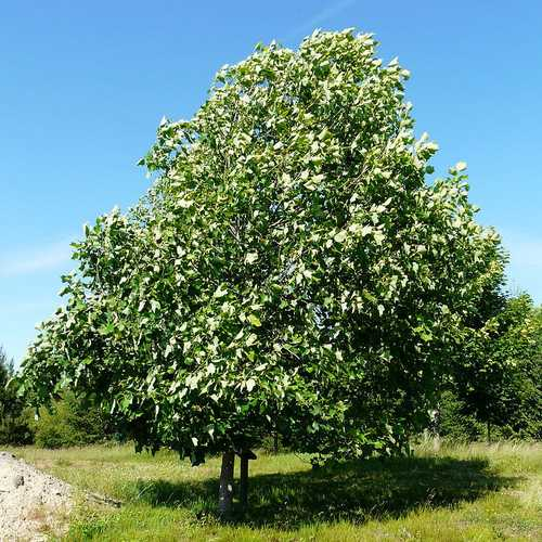 Liriodendron tulipifera - Tulip Tree - Future Forests