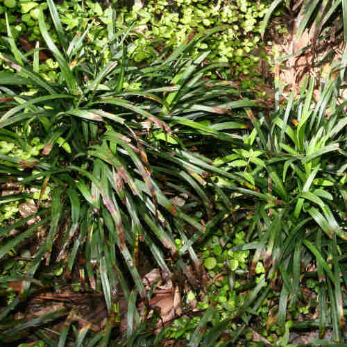 Liriope Muscari Future Forests