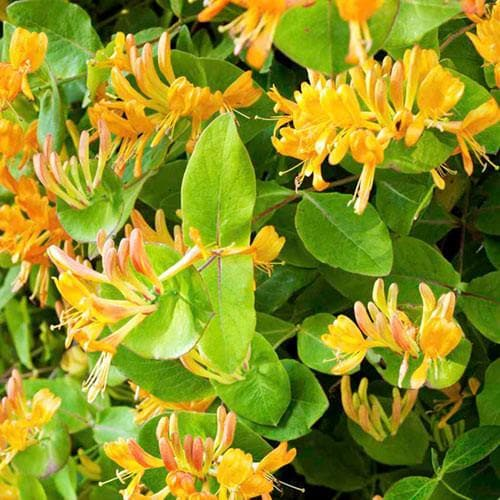 Lonicera henryi 'Copper Beauty' - Future Forests