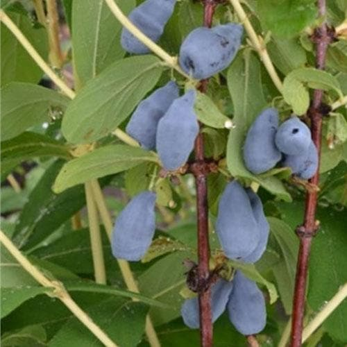 Honeyberry - Lonicera caerulea Siniczka - Future Forests