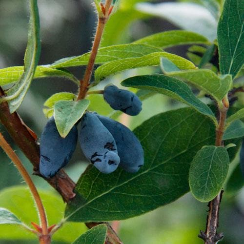 Honeyberry - Lonicera caerulea Uspiech - Future Forests