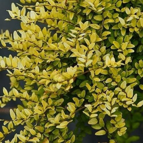 Lonicera nitida Baggensons Gold - Golden Poor Mans Box - Future Forests
