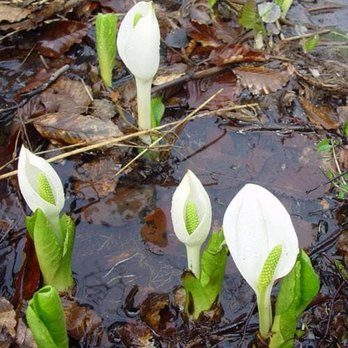 Lysichiton camtschatcensis - Future Forests