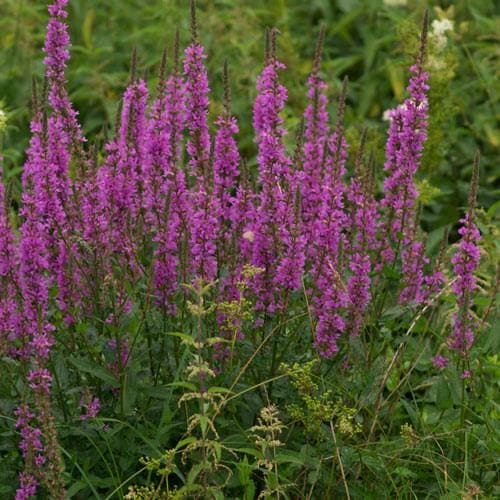 Lythrum salicaria - Future Forests