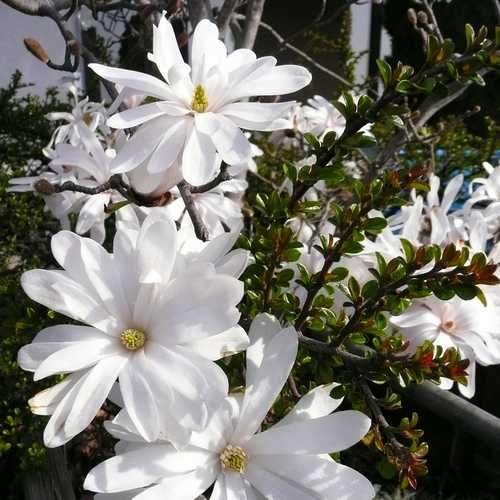 Magnolia stellata - Future Forests