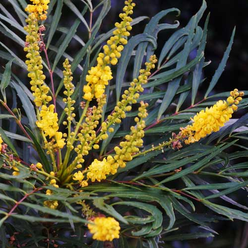 Mahonia eurybracteata Soft Caress