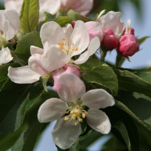 Malus John Downie - Flowering Crab Apple - Future Forests