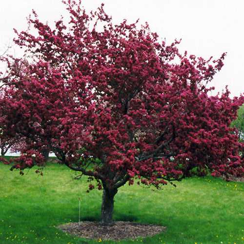 Malus x moerslandii Profusion Improved - Flowering Crab apple - Future Forests