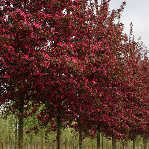 Malus toringo Scarlett (Scarletta) - Flowering Crab apple - Future Forests