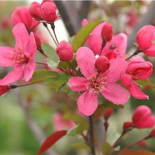 Malus Prairie Fire - Flowering Crab Apple - Future Forests