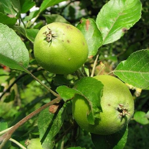 Malus sylvestris - Crabapple - Future Forests
