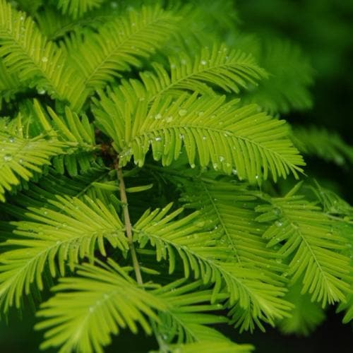 Metasequoia glyptrostroboides Gold Rush - Future Forests