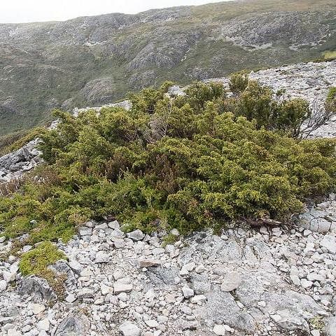 Microcachrys tetragona - Creeping Strawberry Pine