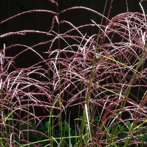 Miscanthus sinensis Malepartus - Future Forests