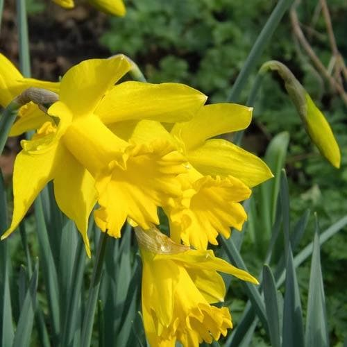 Narcissus 'Golden Harvest' - Future Forests
