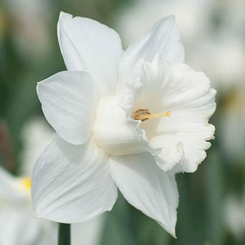 Narcissus 'Mount Hood' - Future Forests