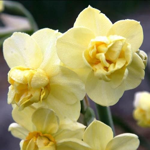 Narcissus 'Yellow Cheerfulness' - Future Forests