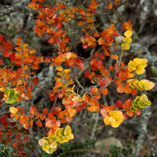 Nothofagus cunninghamii - Myrtle Beech - Future Forests