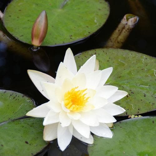 Nymphaea alba - Future Forests