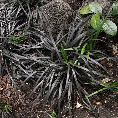 Ophiopogon planiscapus Nigrescens - Future Forests