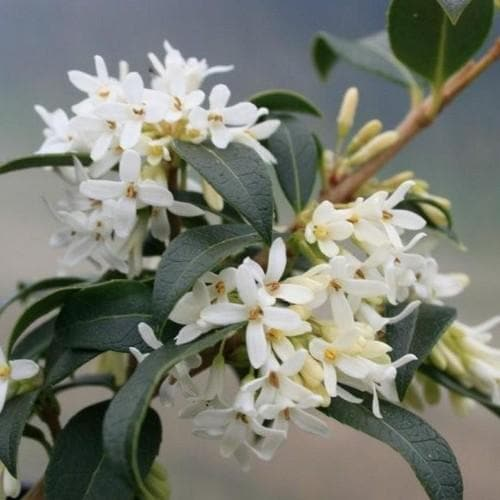 Osmanthus burkwoodii - Future Forests