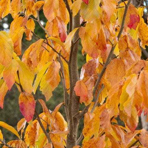 Parrotia persica Persian Spire® - Future Forests