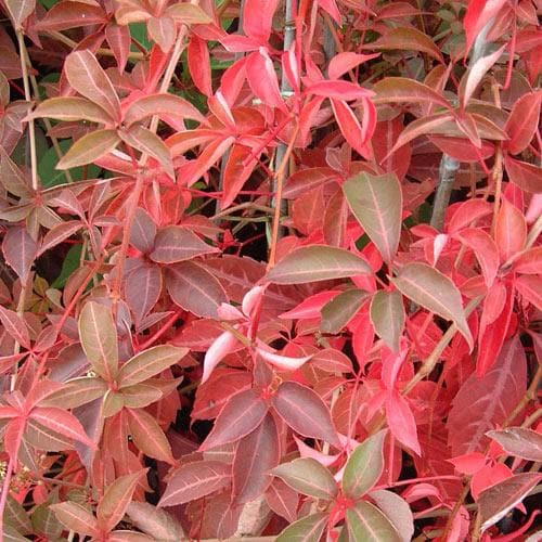 Parthenocissus henryana - Chinese Virginia Creeper