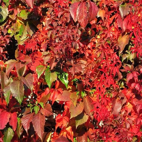 Parthenocissus quinquefolia - Future Forests