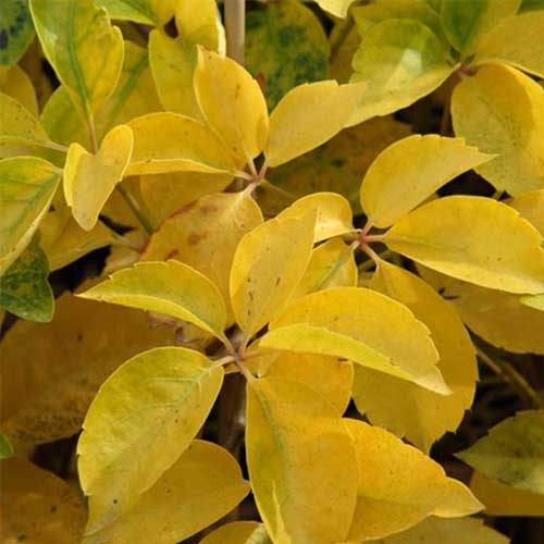 Parthenocissus quinquefolia Yellow Wall