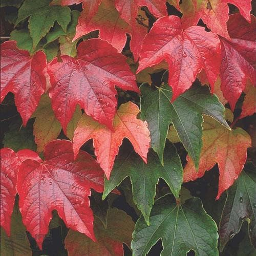 Parthenocissus tricuspidata Veitchii - Future Forests