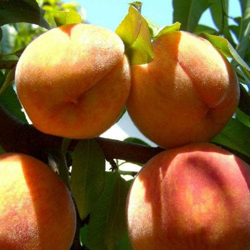 Peach Peregrine - Future Forests