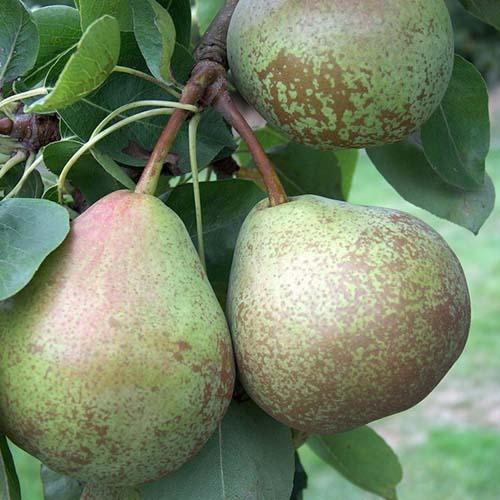 Pear Winter Nelis