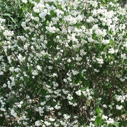 Philadelphus Minnesota Snowflake - Future Forests