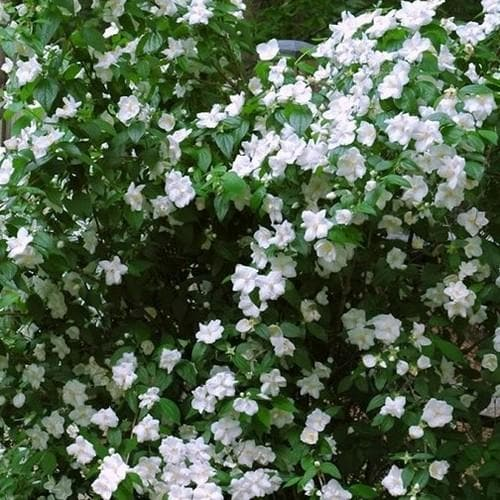 Philadelphus Virginal - Future Forests