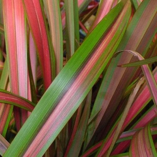 Phormium Jester - Future Forests