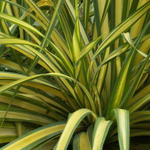 Phormium Yellow Wave