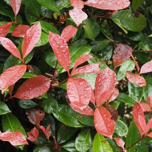 Photinia x fraseri Red Robin - Future Forests