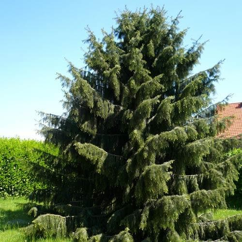 Picea breweriana - Future Forests