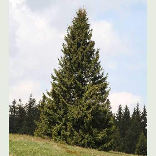 Picea Abies Norway Spruce Future Forests