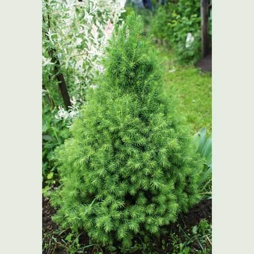 Picea glauca conica - Future Forests