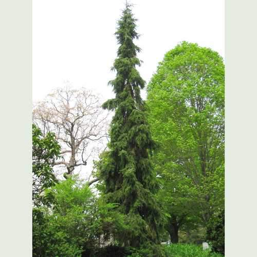 Picea omorika pendula - Weeping Serbian Spruce - Future Forests