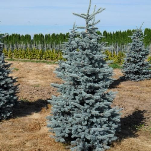 Picea pungens Hoopsii - Future Forests